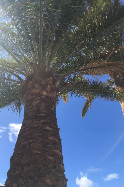 palmier canarias